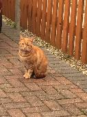 Found Orange/Ginger Cat on 01 Sep. 2016 @ Western Road, Margate