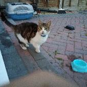Found Multicolored Cat on 15 May. 2018 @ Burnt Mills Rd SS13 1DY