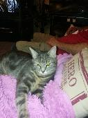 Lost Cat on 01 Aug. 2018 @ Co27pg colchester