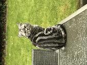 Lost Cat on 03 Oct. 2018 @ Fontmell close ashford Surrey TW15 2NR