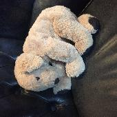 Found Teddy doggy on 15 Oct. 2018 @ CW1 5Np