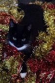 Lost Cat on 16 May. 2019 @ Longmeadow Road, Saltash, Cornwall, PL12 6DP