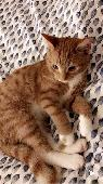 Lost Orange/Ginger & White Cat on 01 Apr. 2020 @ Bd7 4pg