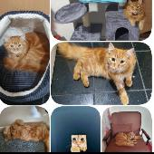 Lost Orange/Ginger Cat on 23 Mar. 2020 @ Leicester le4