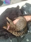 Lost Brown Tiger/Leopard Cat on 23 Jun. 2020 @ London Road brentwood cm14 4nl