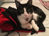Lost Black & White Cat on 26 Sep. 2020 @ ST3 6SA