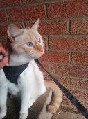Lost Cat on 30 Jul. 2021 @ Nene Meadows, Spalding, PE12 9TZ, Lincolnshire